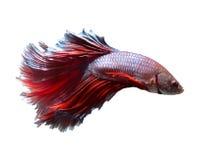 Peixes de combate de Sião imagem de stock