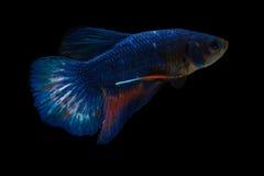 Peixes de combate na obscuridade Foto de Stock