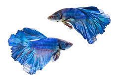 Peixes de combate Siamese Foto de Stock Royalty Free
