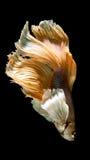 Peixes de combate siamese amarelos e brancos, peixes do betta isolados em b fotografia de stock royalty free