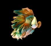 Peixes de combate siamese amarelos e verdes, peixes do betta isolados em b Foto de Stock