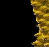 Peixes de combate siamese amarelos, peixes do betta da meia lua isolados no bla Foto de Stock Royalty Free