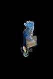 Peixes de combate siamese azuis e amarelos isolados no backgrou preto imagens de stock royalty free