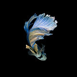 Peixes de combate siamese azuis e amarelos isolados no backgrou preto Imagens de Stock