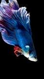 Peixes de combate siamese azuis e vermelhos, peixes do betta no preto fotografia de stock royalty free