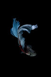 Peixes de combate siamese azuis isolados no fundo preto Betta f imagem de stock royalty free
