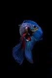 Peixes de combate siamese azuis, peixes do betta isolados no preto fotografia de stock