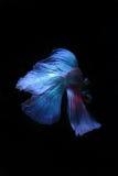 Peixes de combate siamese azuis, peixes do betta isolados no preto Fotos de Stock Royalty Free