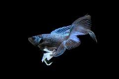 Peixes de combate siamese azuis, peixes do betta isolados no preto Fotografia de Stock Royalty Free