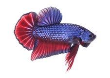 Peixes de combate Siamese, betta isolados Imagens de Stock