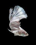 Peixes de combate siamese brancos Fotos de Stock Royalty Free