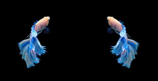 Peixes de combate siamese brancos e azuis, peixes do betta isolados no bla Imagens de Stock