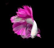 Peixes de combate siamese brancos e cor-de-rosa, peixes do betta isolados no bla Foto de Stock