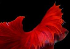Peixes de combate siamese da aleta vermelha abstrata isolados no backgro preto Imagens de Stock