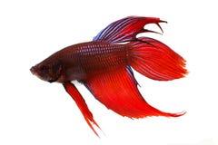 Peixes de combate Siamese do aquário dos splendens de Betta Fotos de Stock