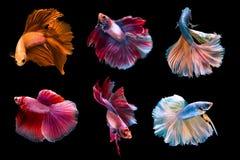 6 peixes de combate siamese do momento movente da captação isolados no preto Imagem de Stock