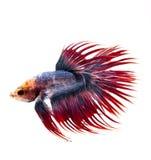 Peixes de combate Siamese, peixes do betta no fundo branco Fotografia de Stock Royalty Free