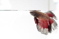 Peixes de combate Siamese, splendens do betta isolados no backgro branco Fotografia de Stock Royalty Free