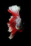 Peixes de combate Siamese, splendens do betta isolados no fundo preto Fotografia de Stock