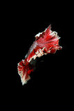 Peixes de combate Siamese, splendens do betta isolados no fundo preto Imagens de Stock