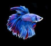 Peixes de combate siamese vermelhos e azuis, peixes do betta isolados no preto Foto de Stock Royalty Free