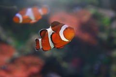 Peixes de Corall Fotografia de Stock