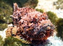 Peixes de escorpião 1 Fotos de Stock Royalty Free