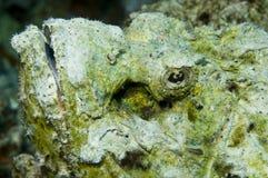Peixes de escorpião Fotografia de Stock