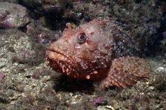 Peixes de escorpião Imagem de Stock