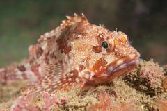 Peixes de escorpião Fotos de Stock