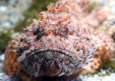Peixes de escorpião 3 Imagem de Stock Royalty Free