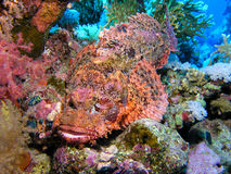 Peixes de escorpião Foto de Stock Royalty Free