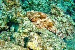 Peixes de escorpião imagens de stock