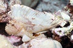 Peixes de escorpião da folha Foto de Stock Royalty Free