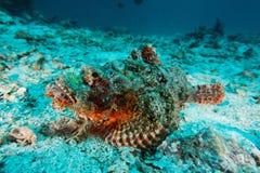 Peixes de escorpião - mar de Andaman Imagem de Stock Royalty Free