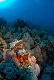 Peixes de escorpião no recife coral imagens de stock