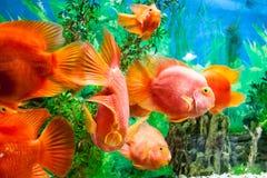 Peixes de flutuação em um aquário Fotografia de Stock Royalty Free