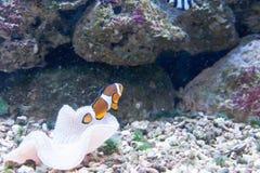 Peixes de flutuação em um aquário Fotografia de Stock
