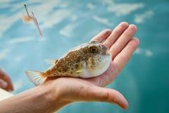 Peixes de Fugu fotografia de stock