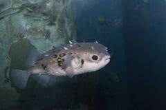 Peixes de Fugu Imagens de Stock Royalty Free