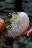 Peixes de Fugu ou Pufferfish ou Porcupinefish Imagens de Stock Royalty Free
