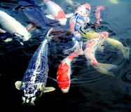 Peixes de Koi Fotos de Stock