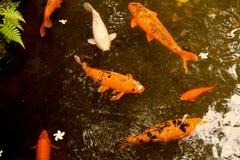 Peixes de Koi Foto de Stock Royalty Free