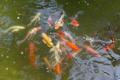 Peixes de Koi, carpa extravagante, nadando imagem de stock royalty free