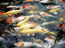 Peixes de Koi - dourados Fotos de Stock Royalty Free