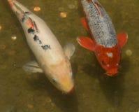 Peixes de Koi em uma lagoa Imagem de Stock