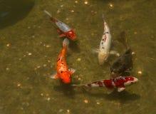 Peixes de Koi em uma lagoa com mudança Fotos de Stock