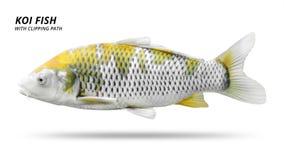 Peixes de Koi isolados no fundo branco Peixes da carpa de Colorfuls Trajeto de grampeamento imagem de stock