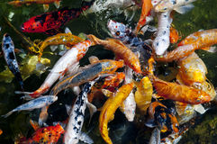 Peixes de Koi na água, opinião de ângulo elevado Imagem de Stock
