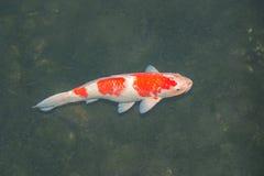 Peixes de Koi na lagoa Fotografia de Stock Royalty Free